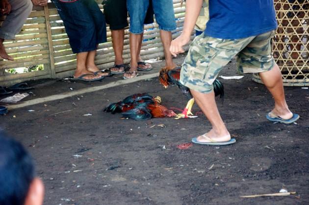 Петушиная схватка на Бали