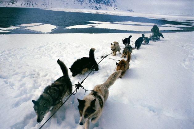 На полюс на собачьей упряжке