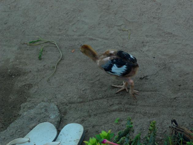 Деревня в Камбодже. Цыплята куры