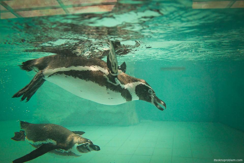 Зоопарк с пандами в Пекине. Пингвин