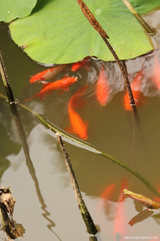 Куда пропадают иностранцы в парке лотосов. Баодин достопримечательности. Рыбки