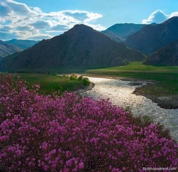 Цветение алтайского маральника в апреле-мае