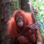 На Суматру за бабочками, орангутанами и дайвингом. Часть 3