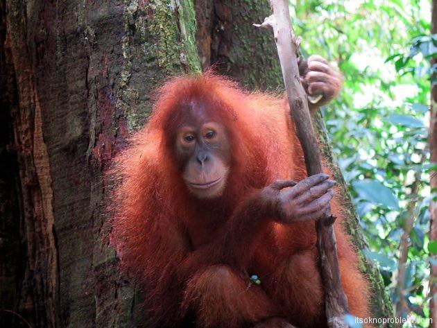 Суматра гид — трекинг, орангутаны и бабочки